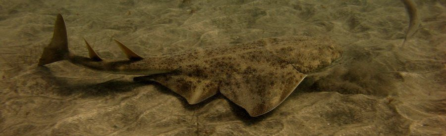 gran canaria scuba dive with angel sharks