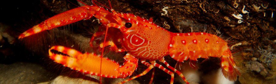 diving with lobsters gran canaria
