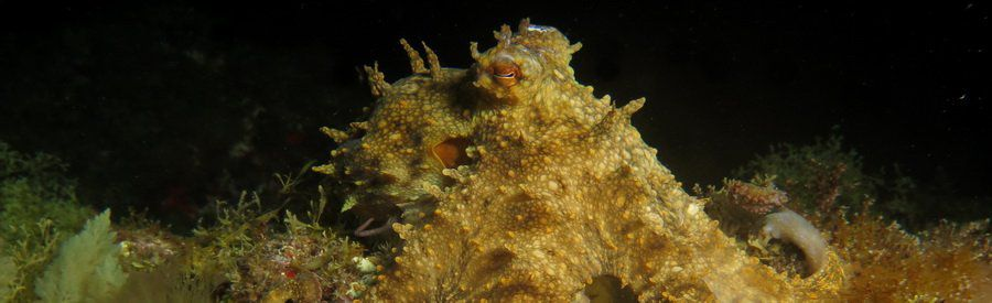 dive with octopus and get close in gran canaria-
