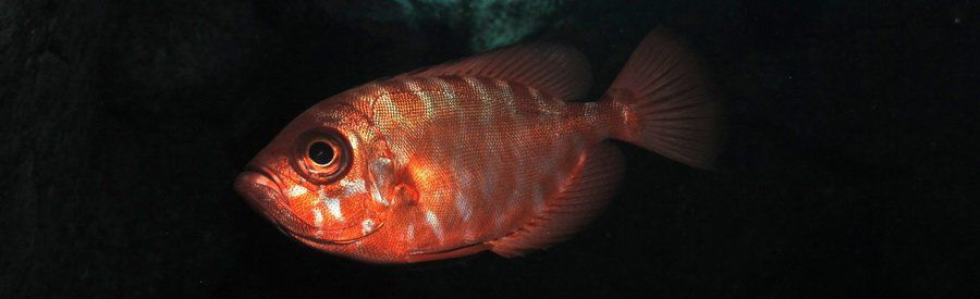 gran canaria glasseye or catalufa