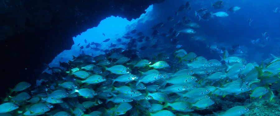 Shoal of Roncadors, wrasse and bream diving canary islands